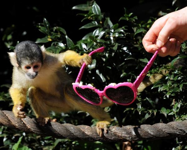 Monkeys Stealing Shades at London Zoo Monkeys Stealing Shades at London Zoo